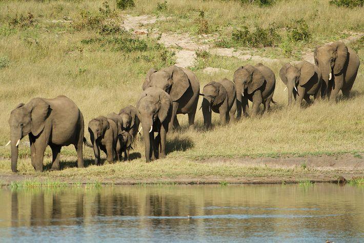 Les éléphants d'Afrique sauvages sont vendus à des zoos du monde entier. Le 27 août, la ...