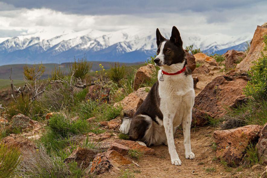 L'élevage des chiens d'ours de Carélie (ici Orca, dans le Nevada) a débuté en Europe dans ...