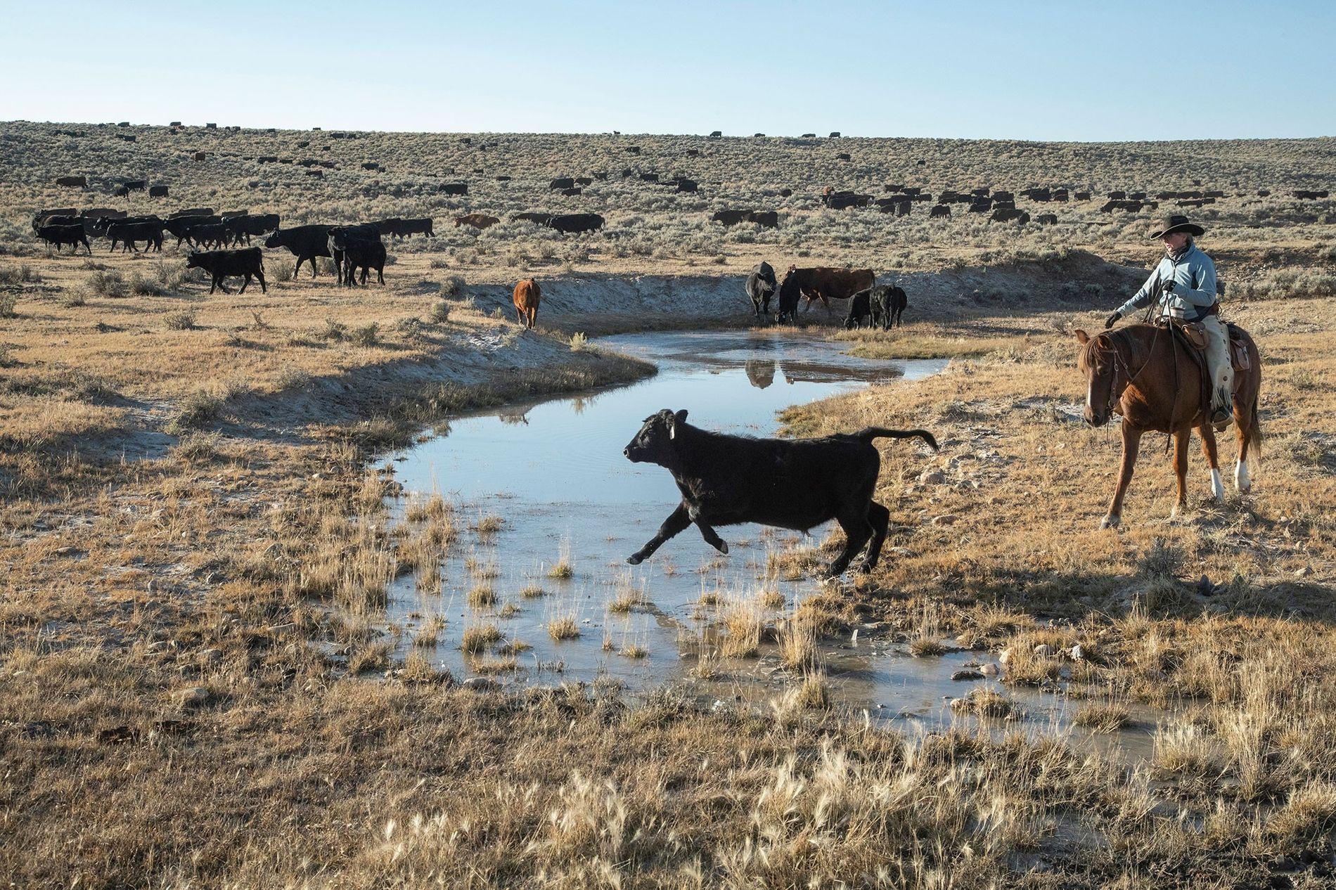 Un cow-boy conduit du bétail à travers les plaines dans le Wyoming aux États-Unis.