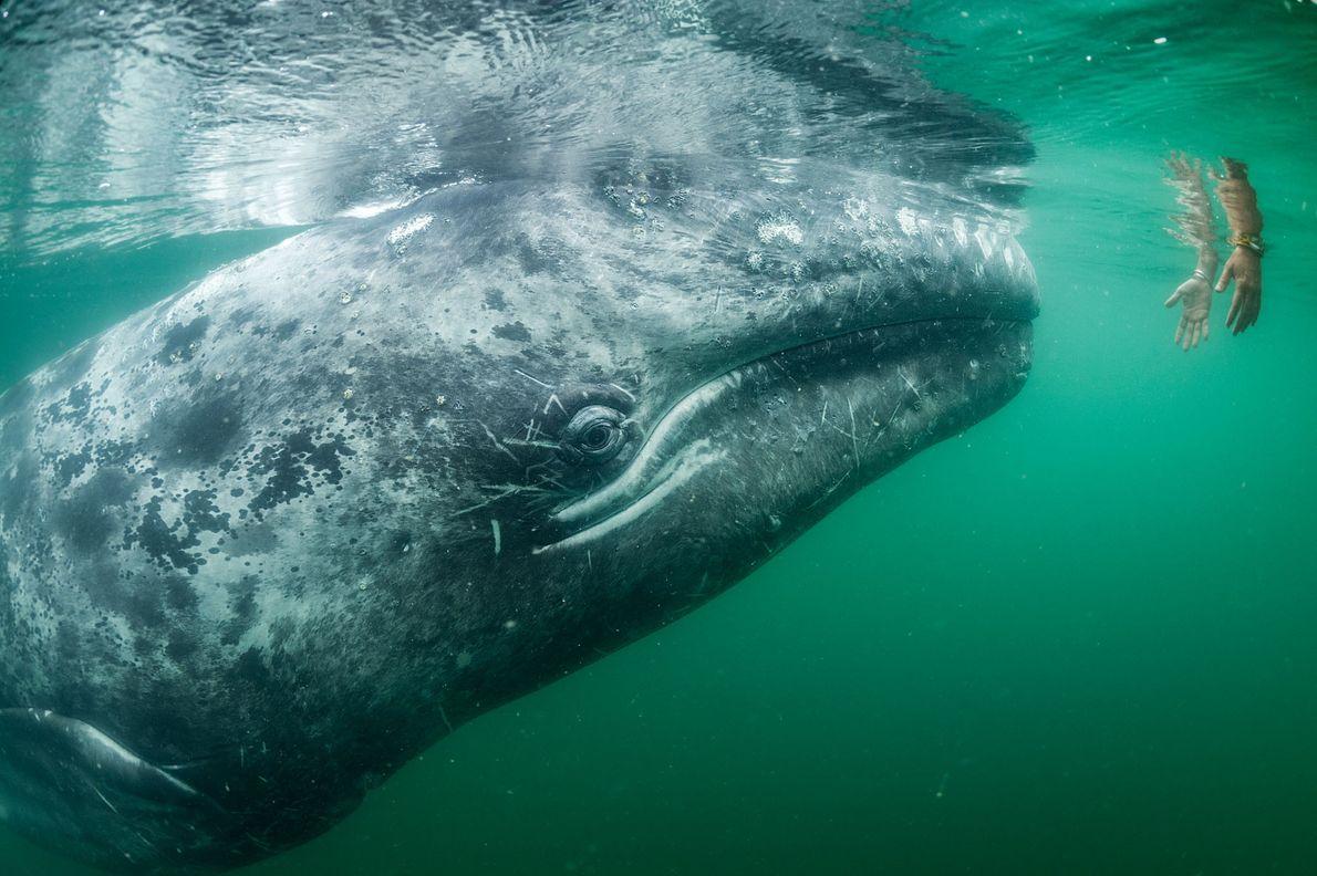 Dans la lagune de San Ignacio, en Basse-Californie du Sud, au Mexique, un touriste immerge ses ...