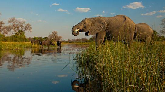 Des éléphants et des buffles d'Afrique s'abreuvent à un point d'eau de la réserve Selinda, au ...
