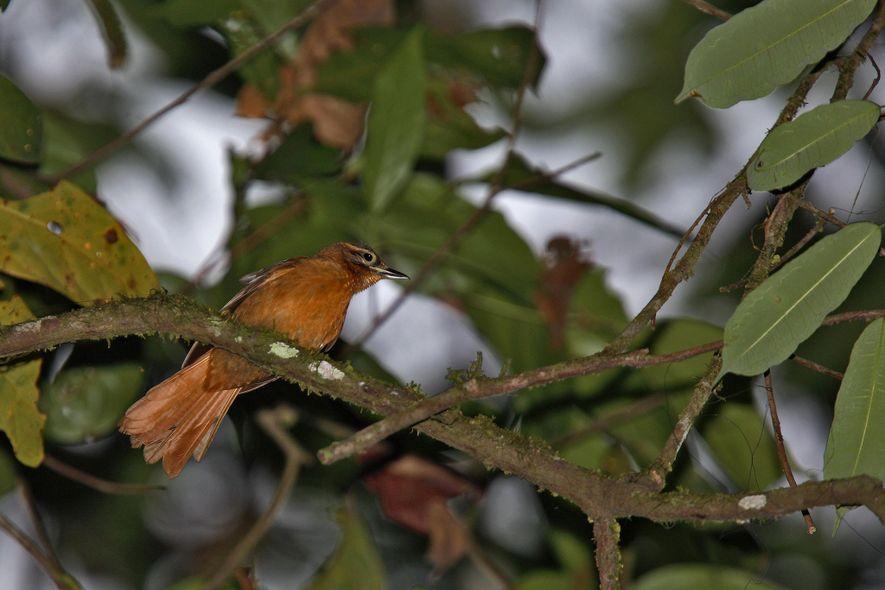 L'anabate d'Alagoas, autrefois endémique du nord-est du Brésil, pourrait d'ores et déjà avoir disparu.