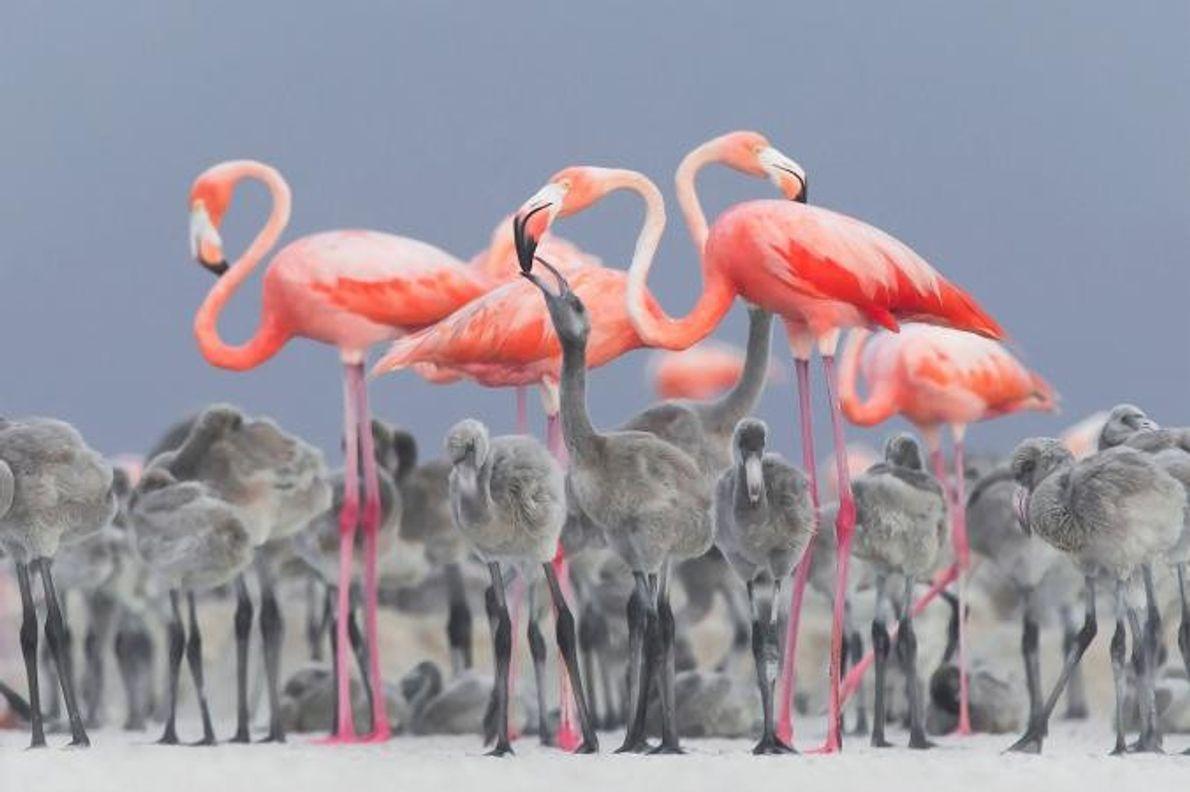 Cette vibrante image d'un groupe de flamants roses nourrissant leurs petits dans une aire de nidification ...