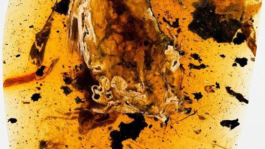 L'ambre contenant l'oiseau préhistorique a été partiellement poli, permettant aux chercheurs d'avoir un aperçu de son ...