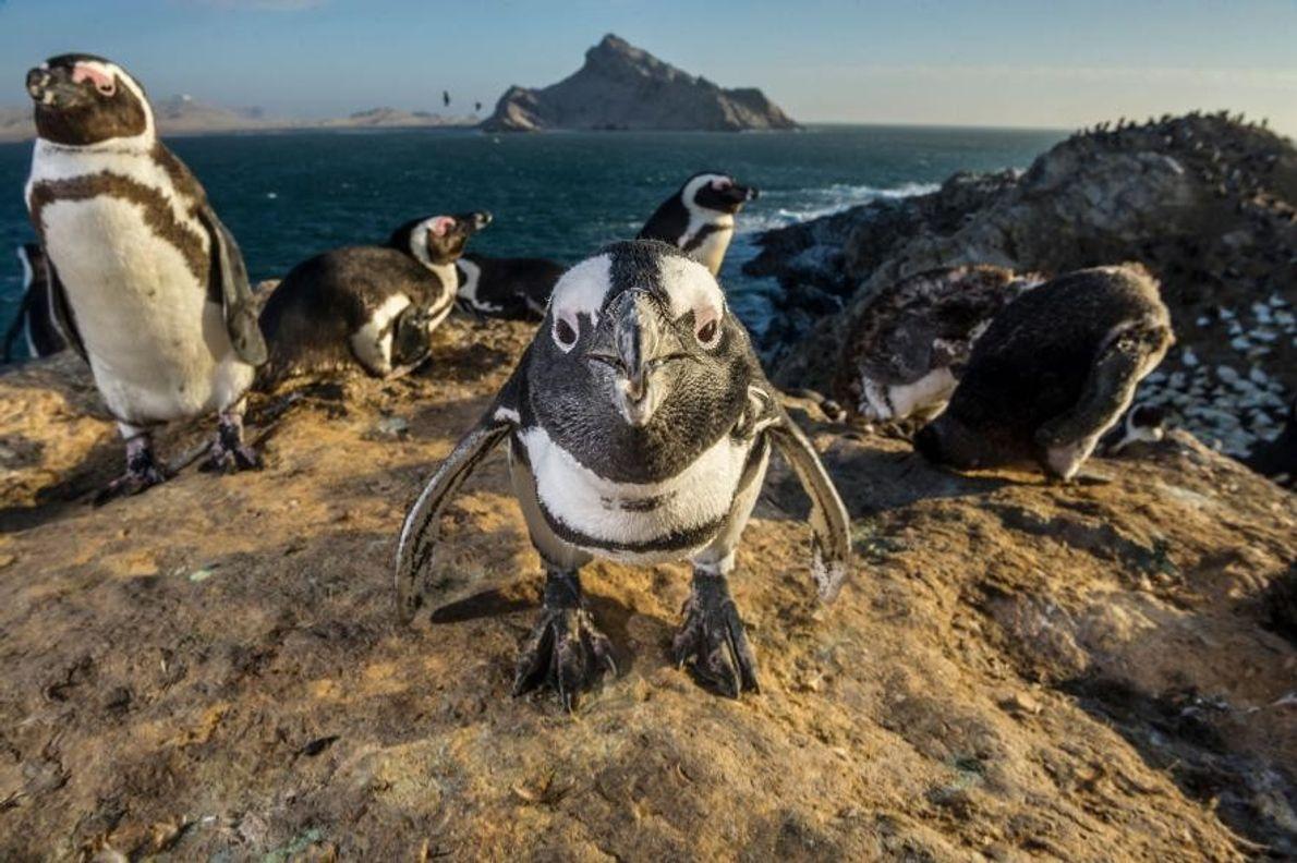 Un manchot du Cap, Îles de Mercure, Namibie.