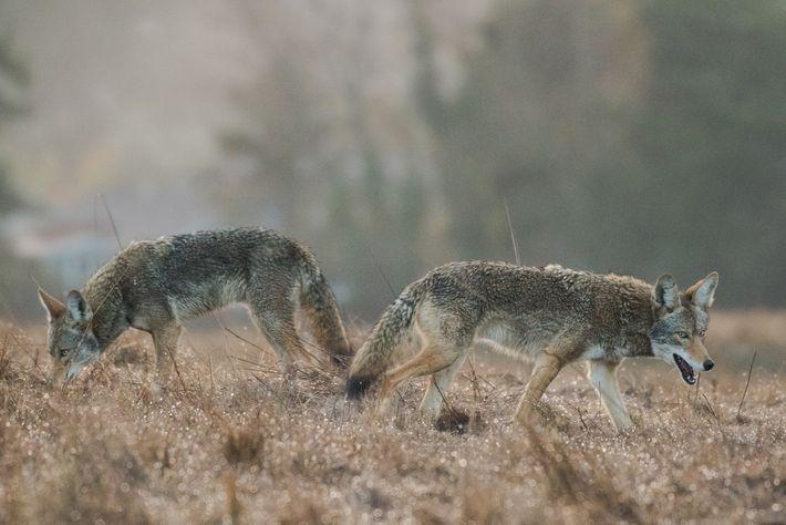 Deux coyotes aux yeux bleus, appartenant sans doute à la même portée, sont à la recherche ...