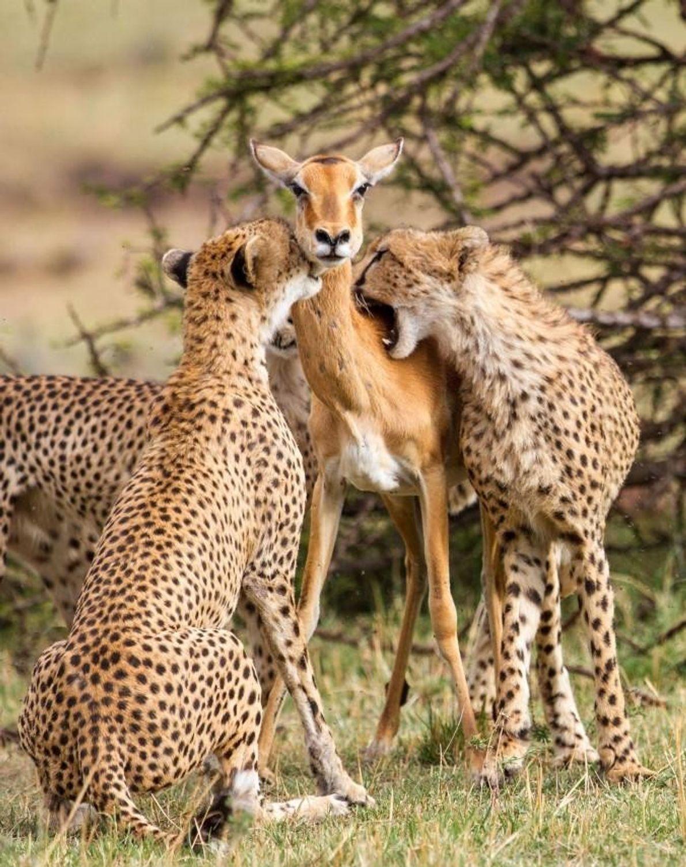 Deux guépards attrapent un impala dans la réserve nationale de Masai Mara, au Kenya.