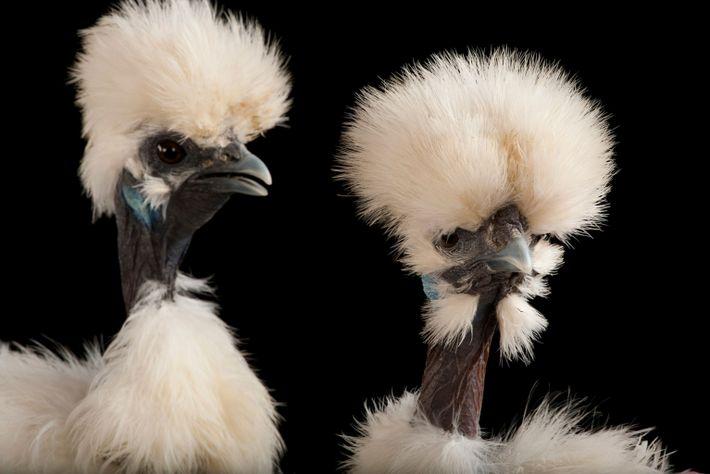 02-chicken-breed-black
