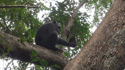 Insolite : ces chimpanzés se nourrissent de tortues