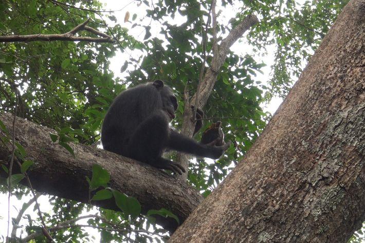 Gia, une femelle chimpanzé, a essayé sans succès à deux reprises de casser une tortue. Toutefois, ...