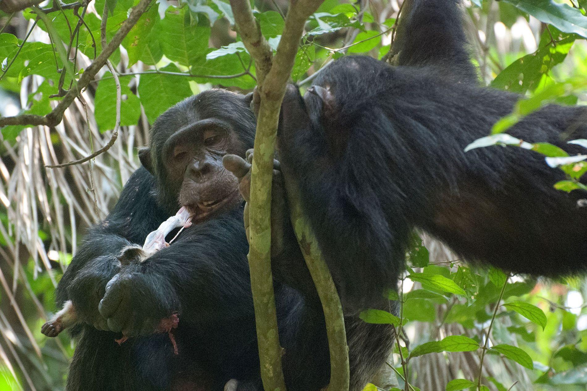Dans le parc national de Gombe en Tanzanie, un mâle chimpanzé mange un singe colobe.