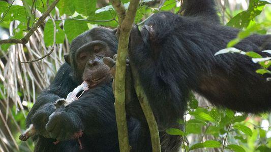 Pourquoi les chimpanzés raffolent-ils du cerveau des bébés singes ?