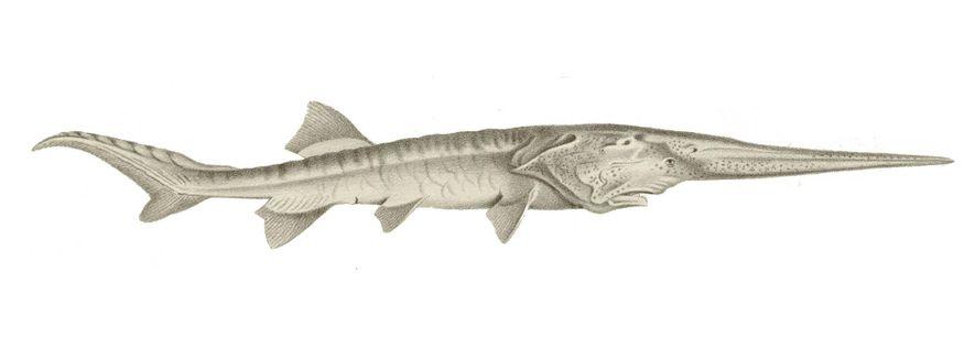 Le poisson-spatule chinois (Psephurus gladius) avait un long rostre semblable à une épée, une structure ressemblant ...