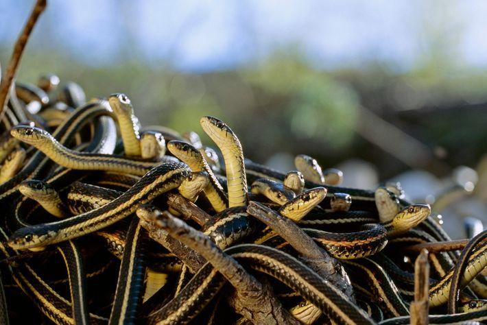 Les couleuvres rayées forment une « boule d'accouplement », dans laquelle un certain nombre de mâles ...