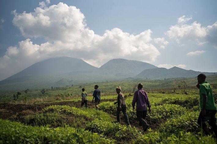 Un groupe d'hommes d'un village pygmée part en randonnée vers Virunga pour cultiver les plants de ...