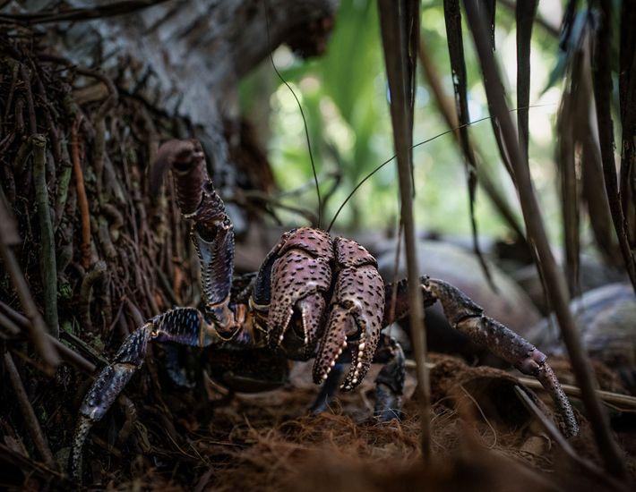 Un crabe de cocotier sur l'île de Nikumaroro.