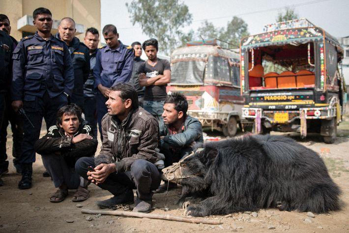 Sridevi, l'autre ours lippu sauvé, se repose près de ses trois maîtres devant le poste de ...