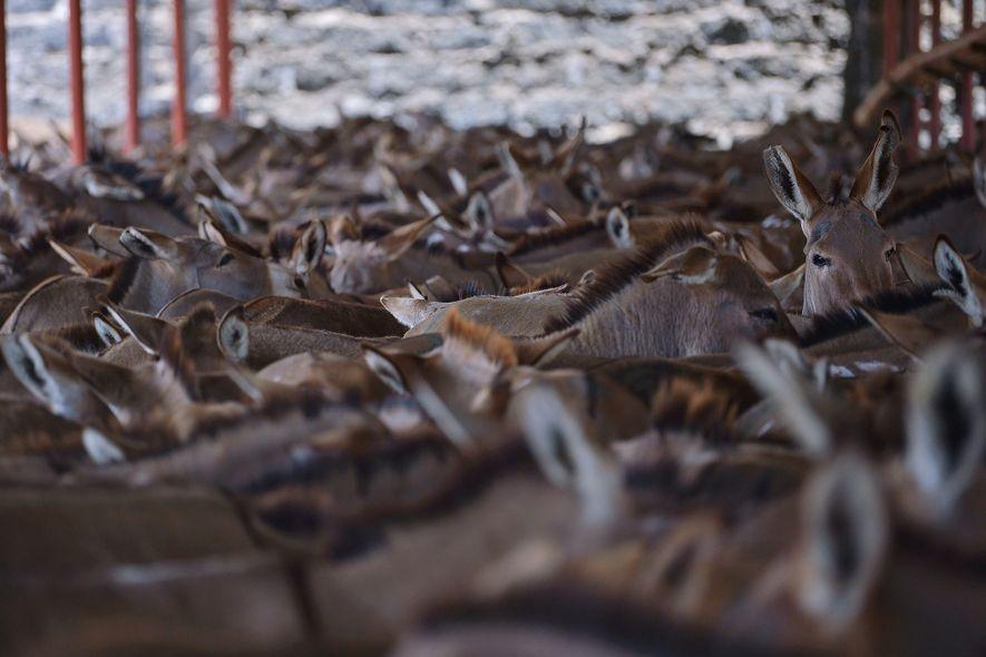 Six pays africains ont ordonné la fermeture d'abattoirs pour enrayer le trafic de peaux à l'étranger. D'autres, à l'image de celui ci-dessus, fonctionnent toujours à grande échelle.