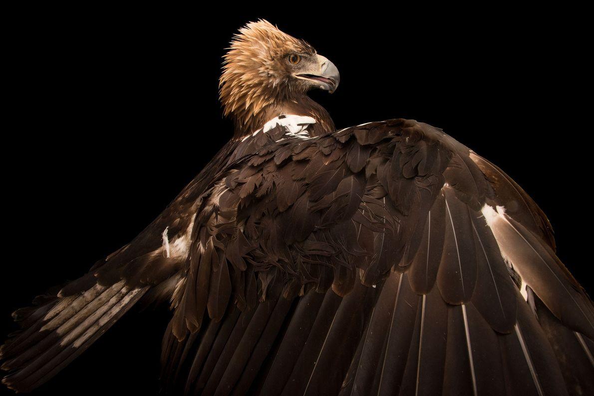 Un aigle ibérique, Aquila adalberti, du zoo de Madrid. Ces oiseaux de proie presque entièrement marron ...