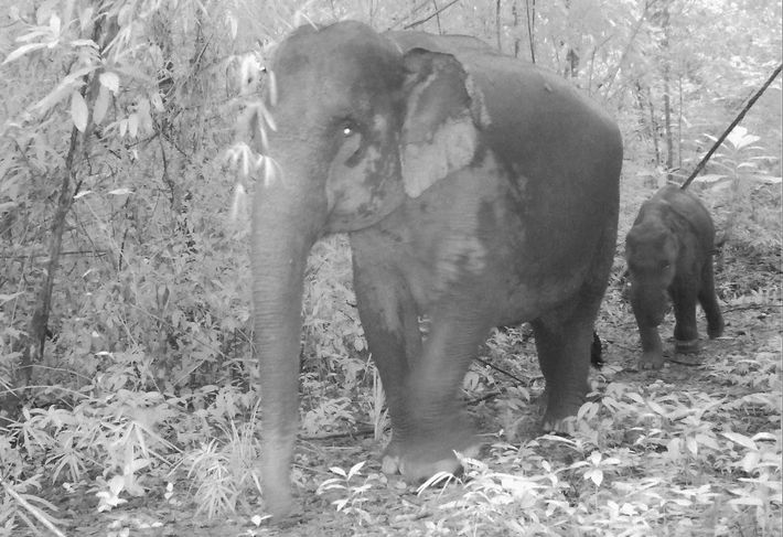 Des pièges en fil de fer de plus en plus répandus paralysent les bébés éléphants d'Asie ...