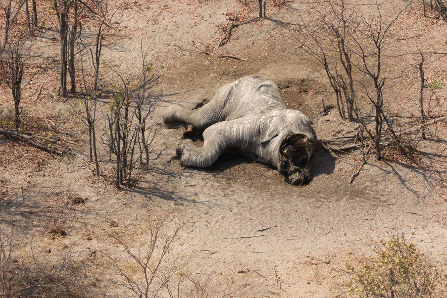 Elephants Without Borders indique que les carcasses d'animaux avec un crâne sévèrement endommagé où les défenses ont été retirées, comme celui-ci dans une zone isolée du Botswana, ont probablement été victimes du braconnage pour l'ivoire.