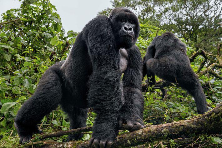 Un gorille émerge de la jungle du parc national du Virunga. Les gorilles des montagnes sont ...
