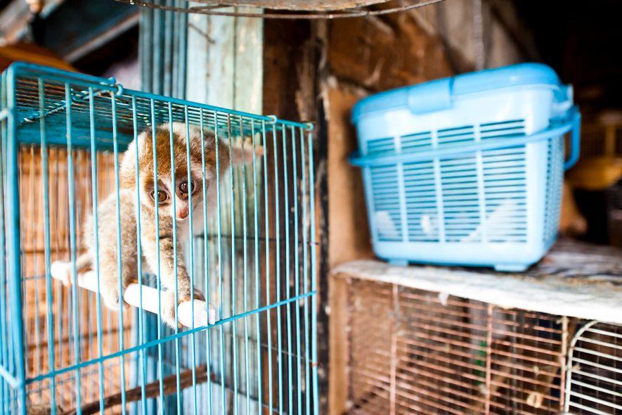 Alors qu'ils sont protégés par la loi, des loris lents sont ouvertement vendus au marché de ...