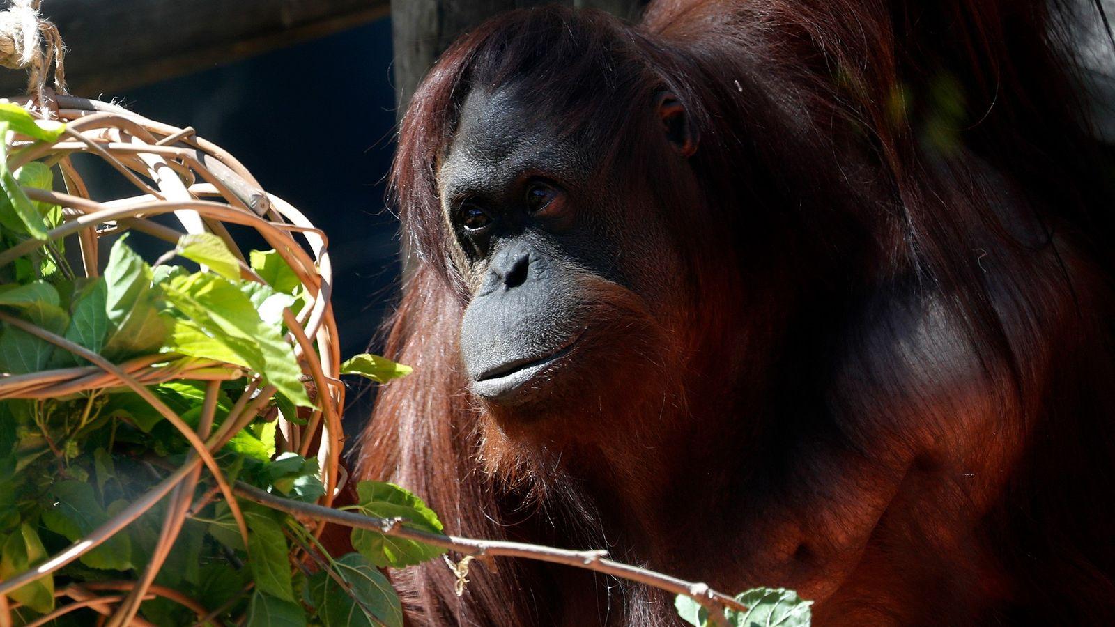 Cette photo, prise en septembre, montre Sandra, une orang-outan, dans un zoo à Buenos Aires. Actuellement, ...