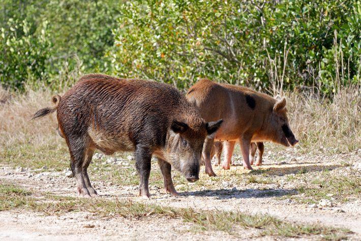 Les cochons sauvages sont plus connus dans les régions chaudes comme la Floride, ici en photo. ...