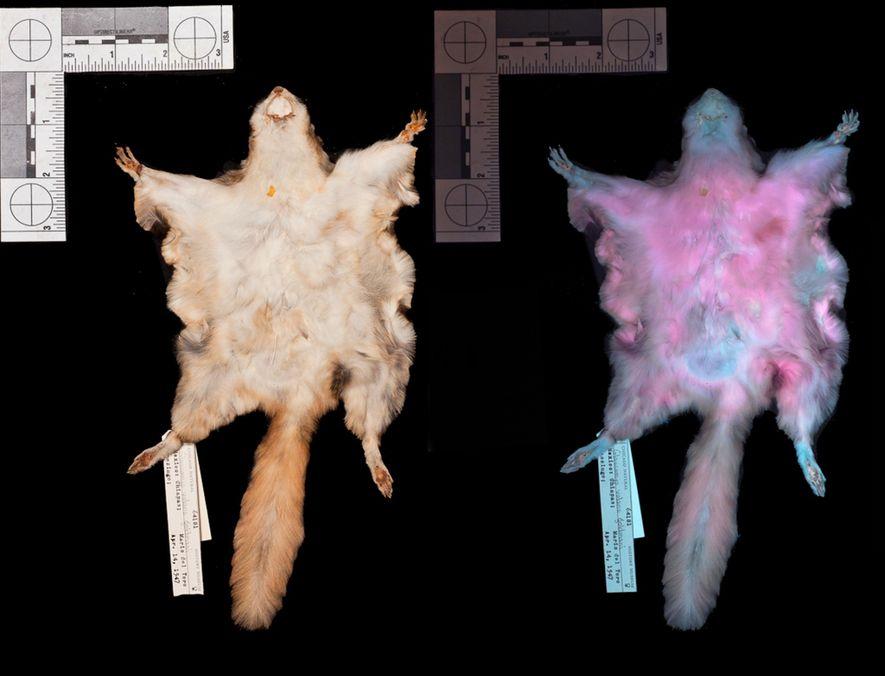 La peau d'un petit polatouche (Glaucomys volans) exposée à la lumière visible et aux ultraviolets (à ...
