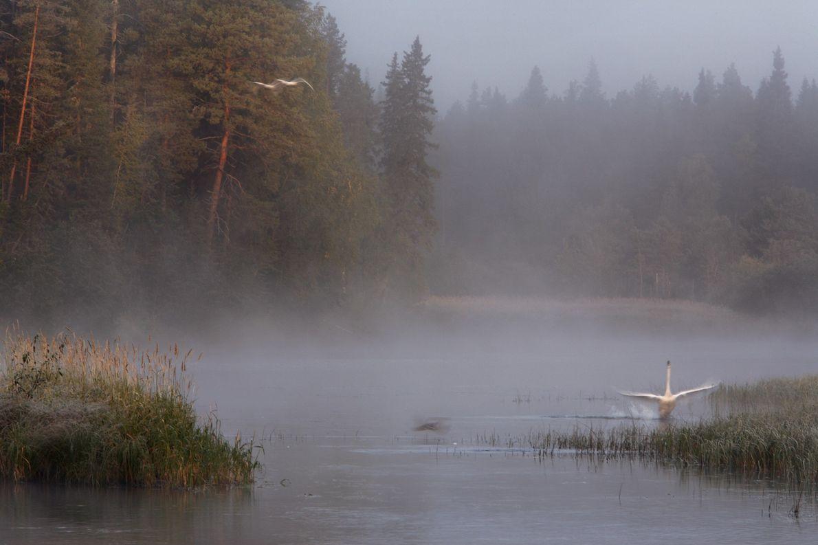 Réveillé par le brouillard matinal, un cygne chanteur tente de s'envoler dans les eaux peu profondes ...