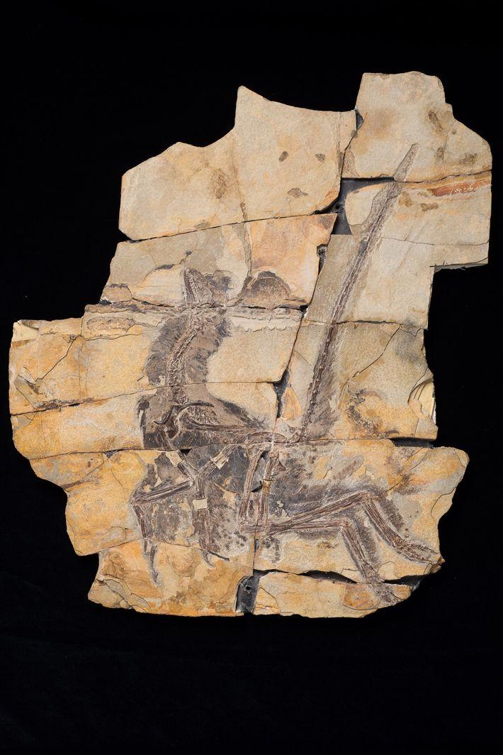 Le fossile de Serikornis sungei montre un plumage hétéroclite.