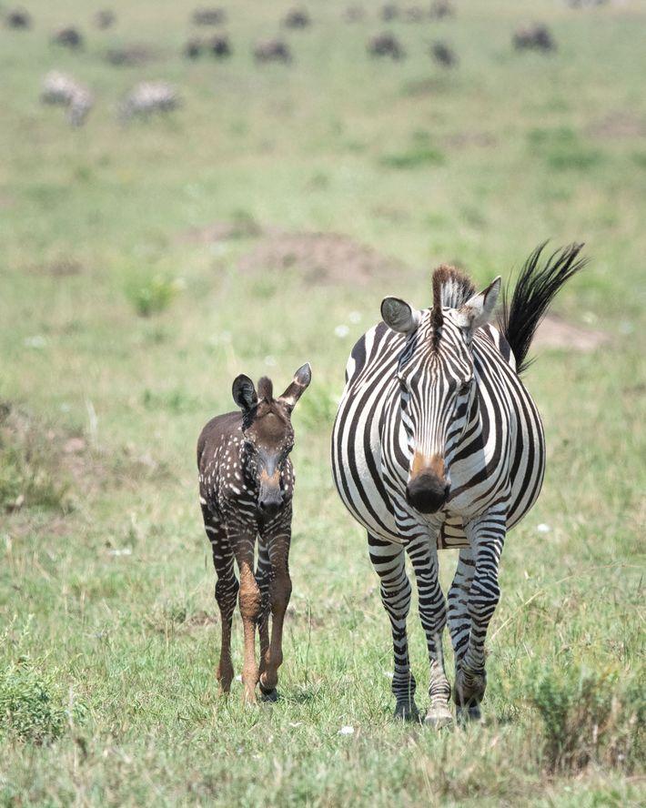 Sur cette photographie récente, Tira se promène au cœur de la réserve nationale du Masai Mara, ...