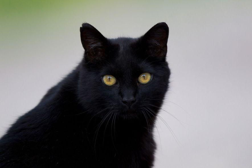 Dans de nombreuses cultures européennes, les chats noirs sont considérés comme porteurs de malchance.