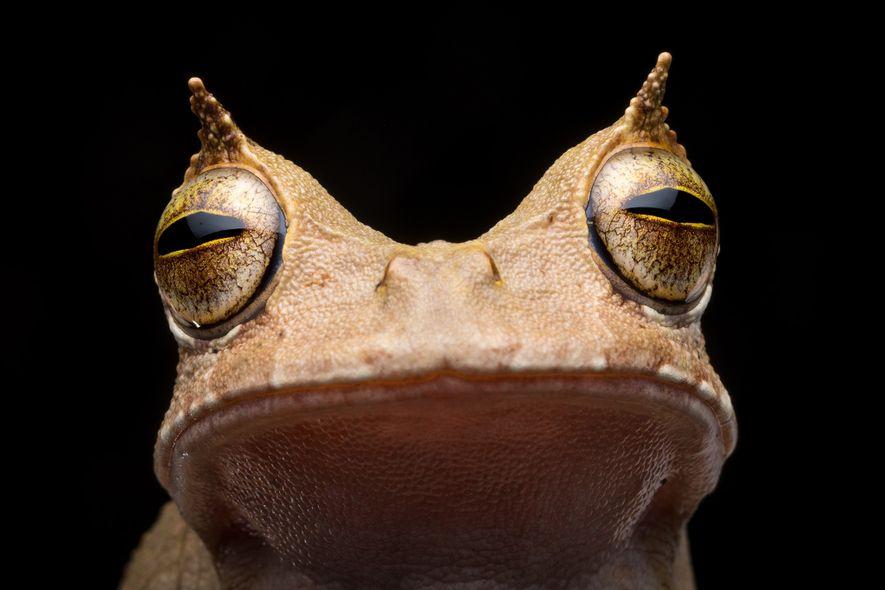 Avant qu'une grenouille marsupiale cornue ne soit observée en 2018, aucun spécimen de l'espèce n'avait pas ...
