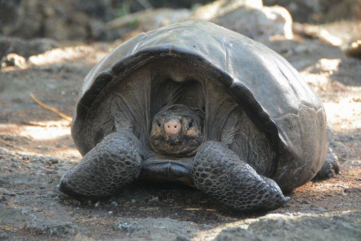 Cette femelle aurait 100 ans. Comme les tortues géantes peuvent vivre jusqu'à 200 ans, il y ...