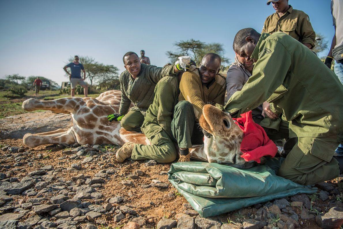 Dans le refuge dédié aux espèces sauvages de Loisaba, des chercheurs attachent un minuscule GPS fonctionnant ...