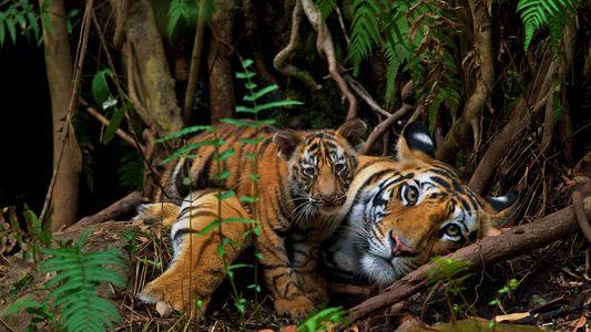 Au Népal, la population de tigres a quasiment doublé en dix ans