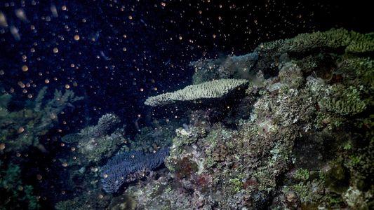 Les coraux de la Grande Barrière de corail ne se reproduisent plus assez vite