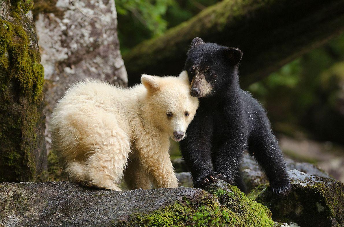Un ourson Kermode se blottit contre son frère. Pendant de nombreuses années, les peuples des Premières ...