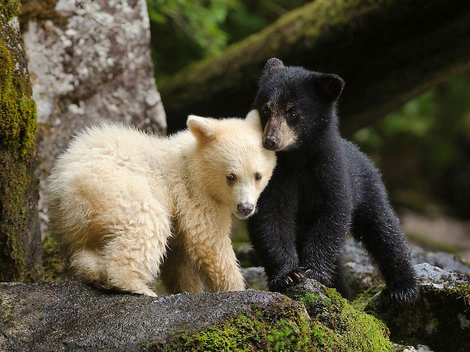 Les ours de la forêt pluviale de Colombie-Britannique