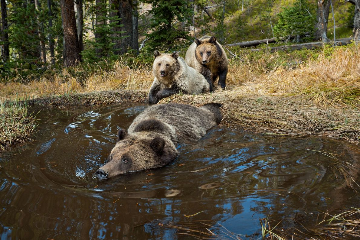02-grizzly-bear-yellowstone