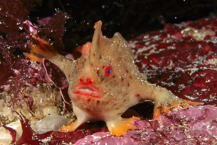 Comme les autres poissons-mains, le poisson-main tacheté a des nageoires pectorales qui lui permettent de « marcher » ...