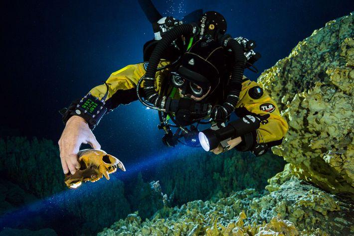 Un plongeur se saisit du crâne d'un lointain cousin de l'ours à Hoyo Negro.