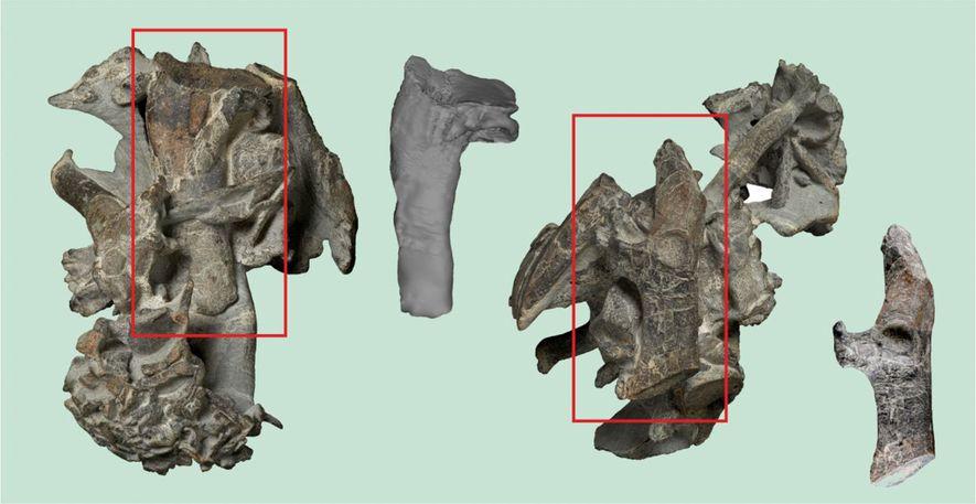 Les parties fossilisées du squelette de manchot géant du Paléocène, le pingouin Kumimanu. Les parties encadrées ...