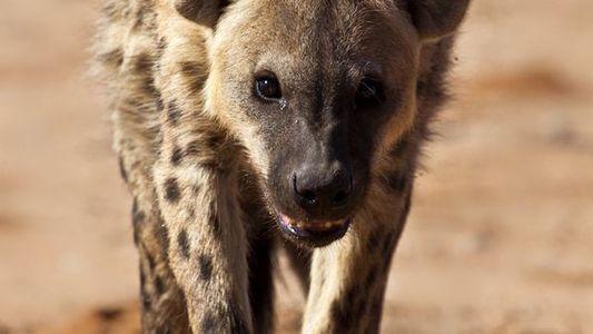 Une révolte éclate chez ces hyènes