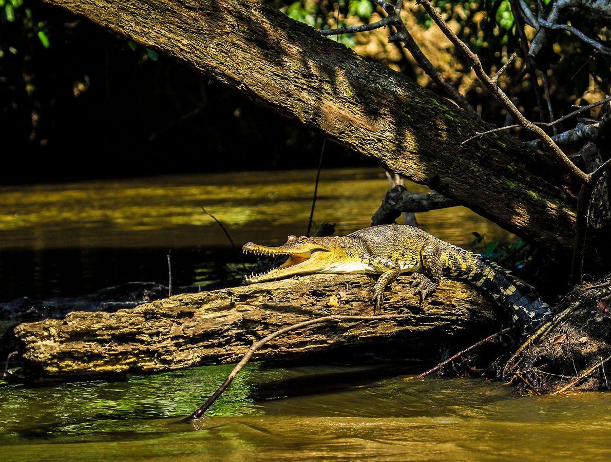 Découverte d'une nouvelle espèce de faux-gavial d'Afrique