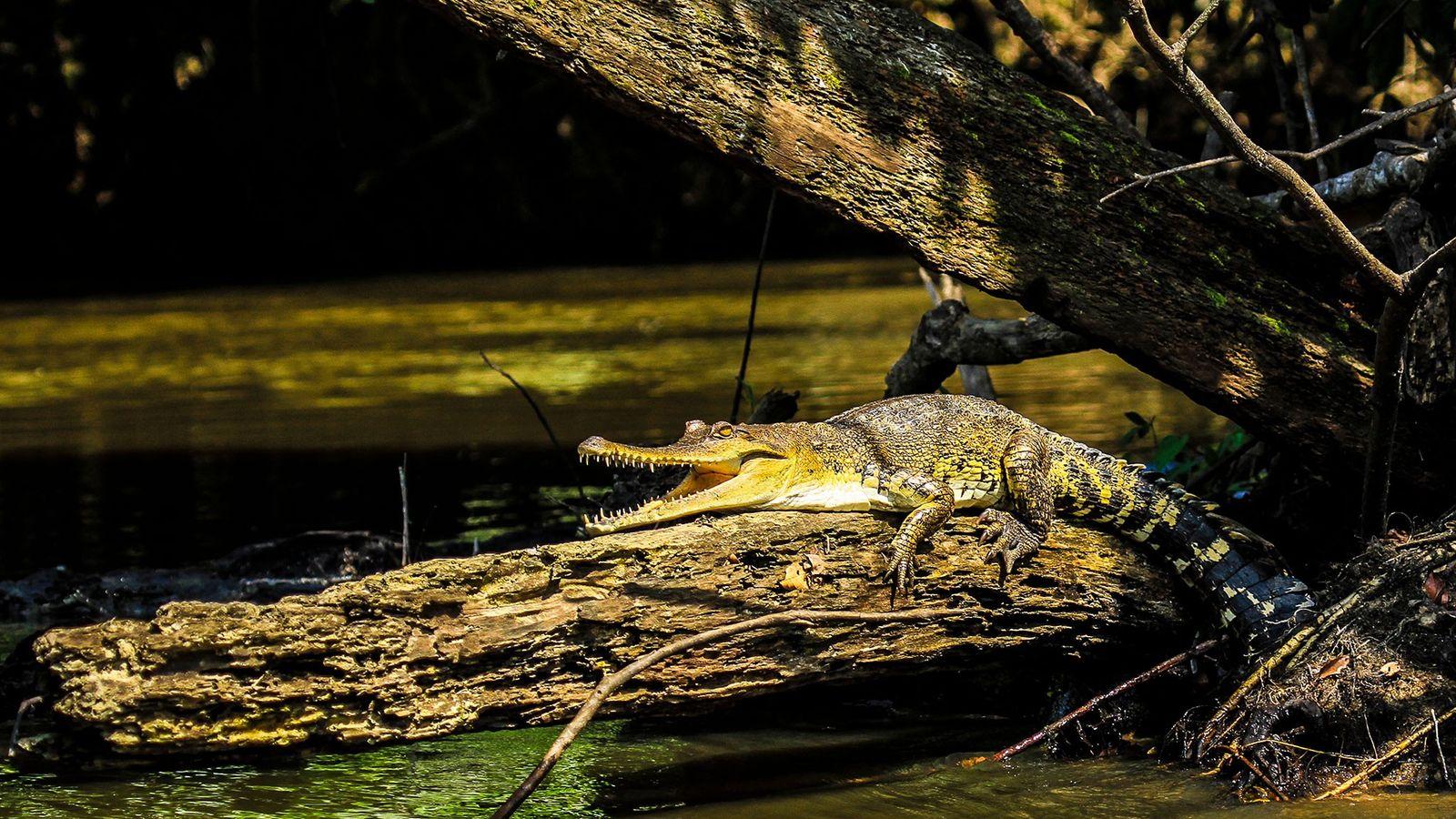 Le faux-gavial d'Afrique centrale (Mecistops leptorhynchus) est la première espèce de crocodile a être décrite depuis ...