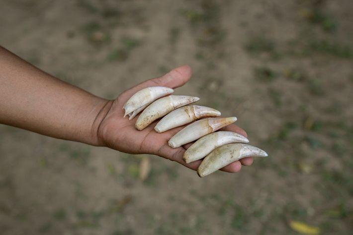 Un ranger du parc national Madid, en Bolivie, montre les dents de jaguar saisies à un ...