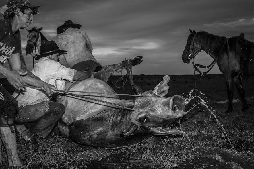 Des llaneros attachent les jambes d'une vache sauvage avec une corde.